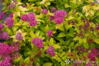 Spiraea Japonica Magic Carpet | www.imgkid.com - The Image ...