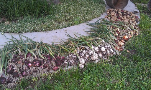 Harvested onions