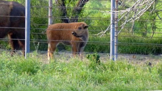 Buffalo calf