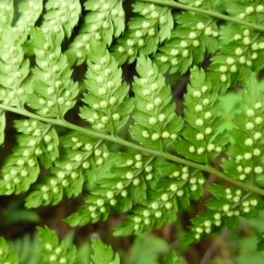 Horsetail Plant Diagram 86 Chevy C10 Radio Wiring Identification Resources Biodiversity Of The Central Coast