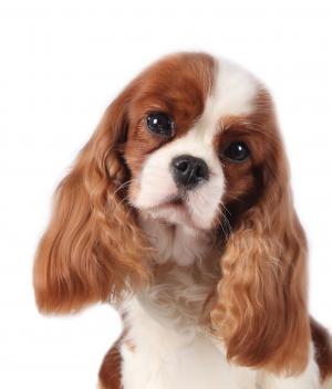 Les chiens de race 11