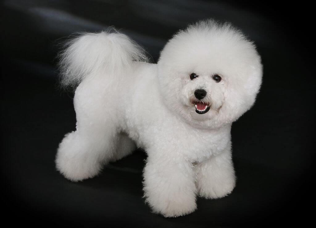 Bichon Frise Non Shedding Dog
