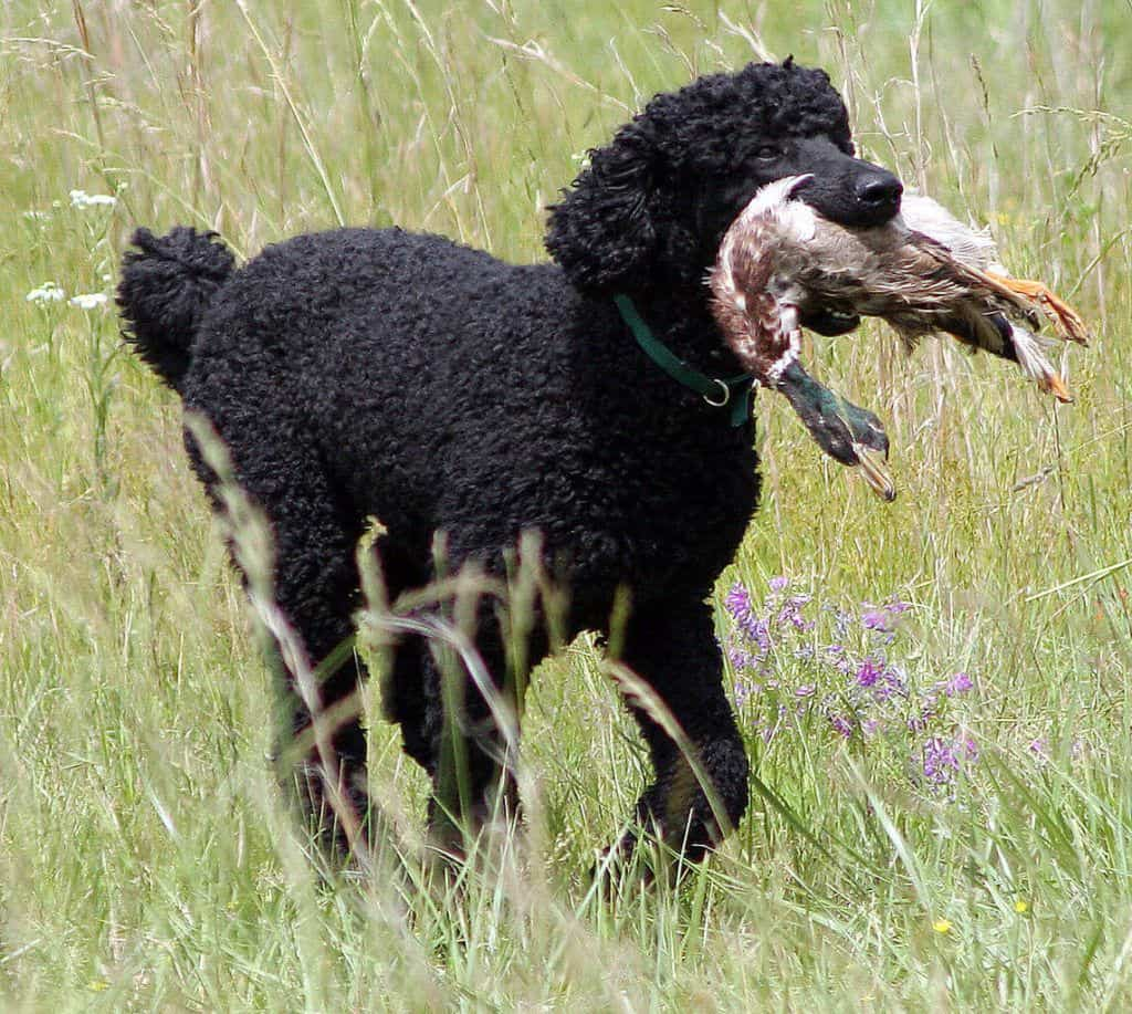 standard poodle has hair not fur