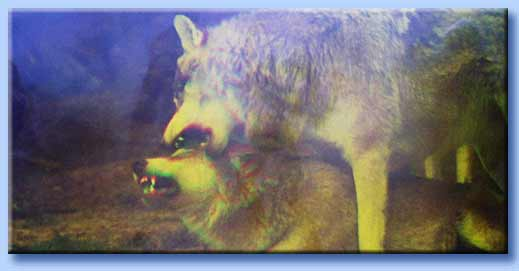 accoppiamento lupi