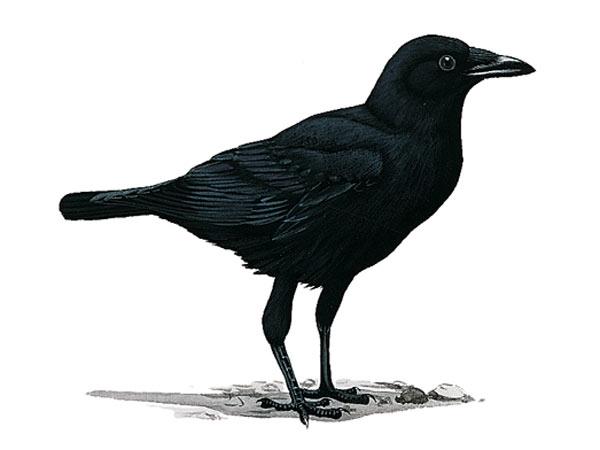 Il simbolismo del corvo