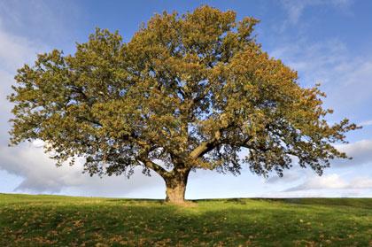Il simbolismo della quercia