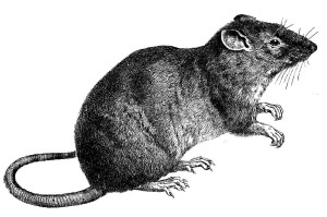 19th-century illustration of a common rat (the Norway rat).