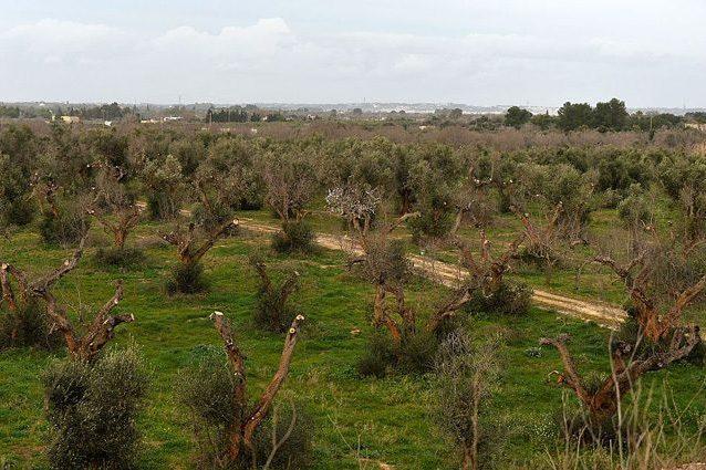 Il tribunale-tendopoli di Bari, la Xylella e altre forme di suicidio assistito dal Tar