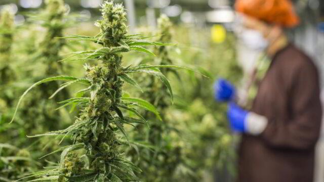 Cannabis: la sentenza della Corte di Cassazione