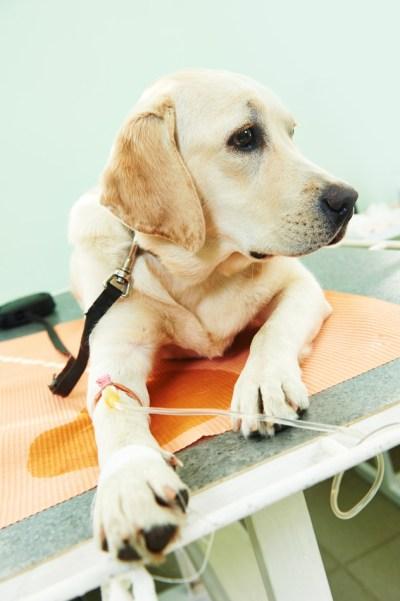 analisis-de-sangre-preanestesicos-para-mascotas