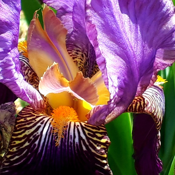 Purple Iris Flower Heart Greeting Card