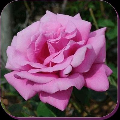 ROSEGARDEN Vendita di rose produzione di rose rose antiche rose grandi fiori rose ramicanti
