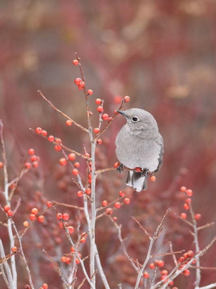 Townsend's Solitaire on Winterberry
