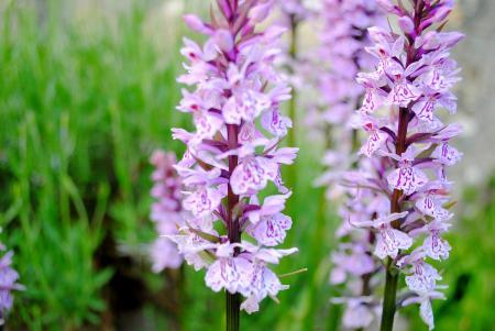 orchide sauvage  vue du doubs passion