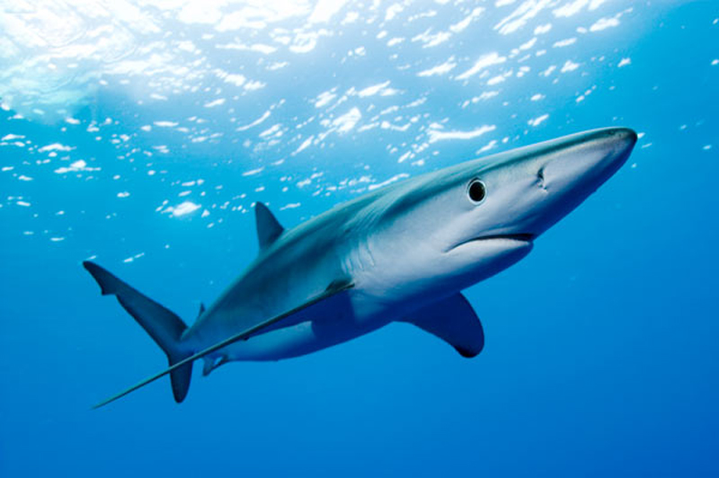 squalo azzurro a lido di classe