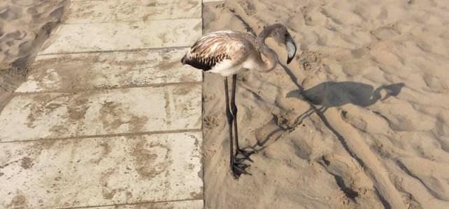 Segnalati fenicotteri in spiaggia di Rimini