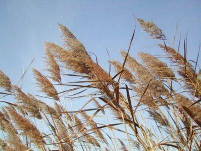 canne-al-vento
