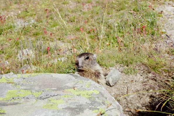 Cucciolo-di-marmotta