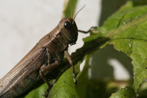 Insects – Grasshoppers | NC State Extension
