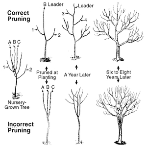 Why Is It Important to Prune Fruit Trees Every Year