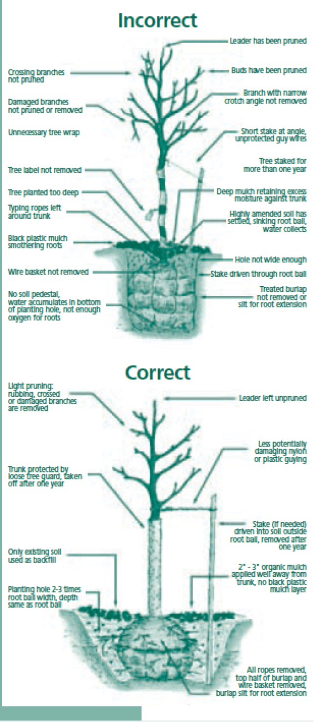 hight resolution of tree planting guide