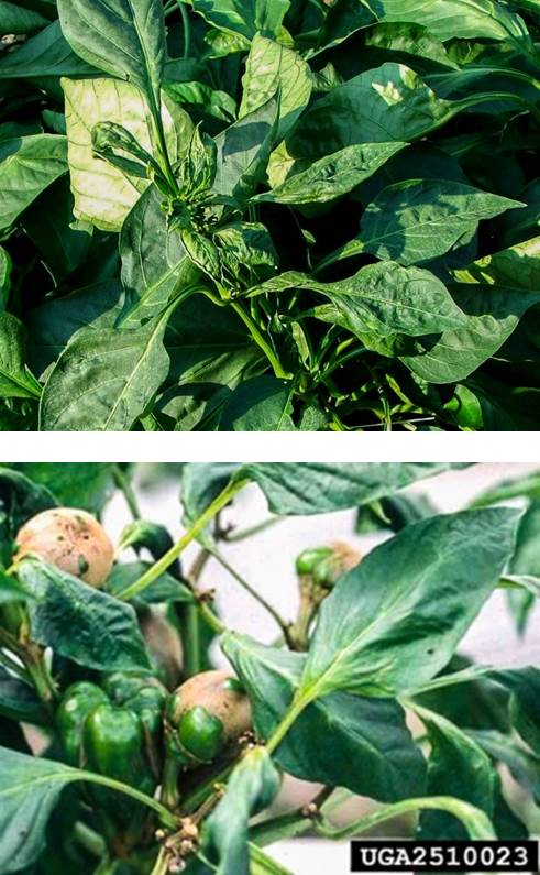 Insect Management on Fruiting Vegetables in North Carolina