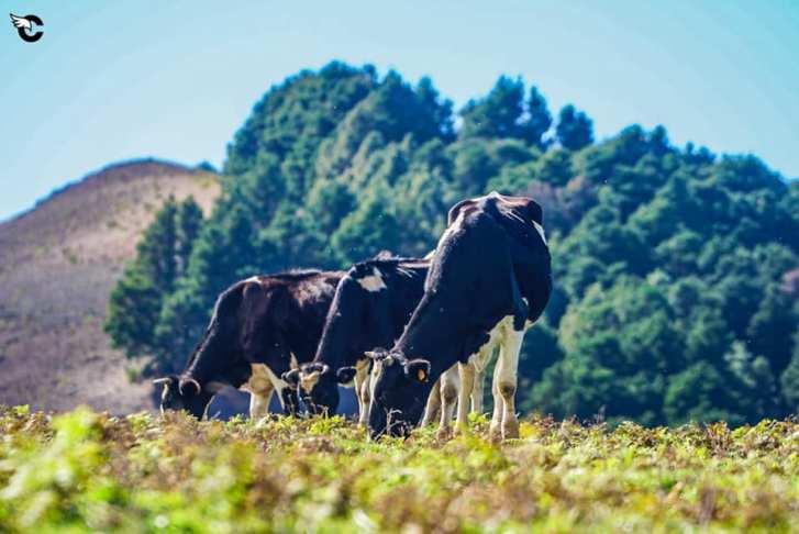 Vacas en Valverde El Hierro