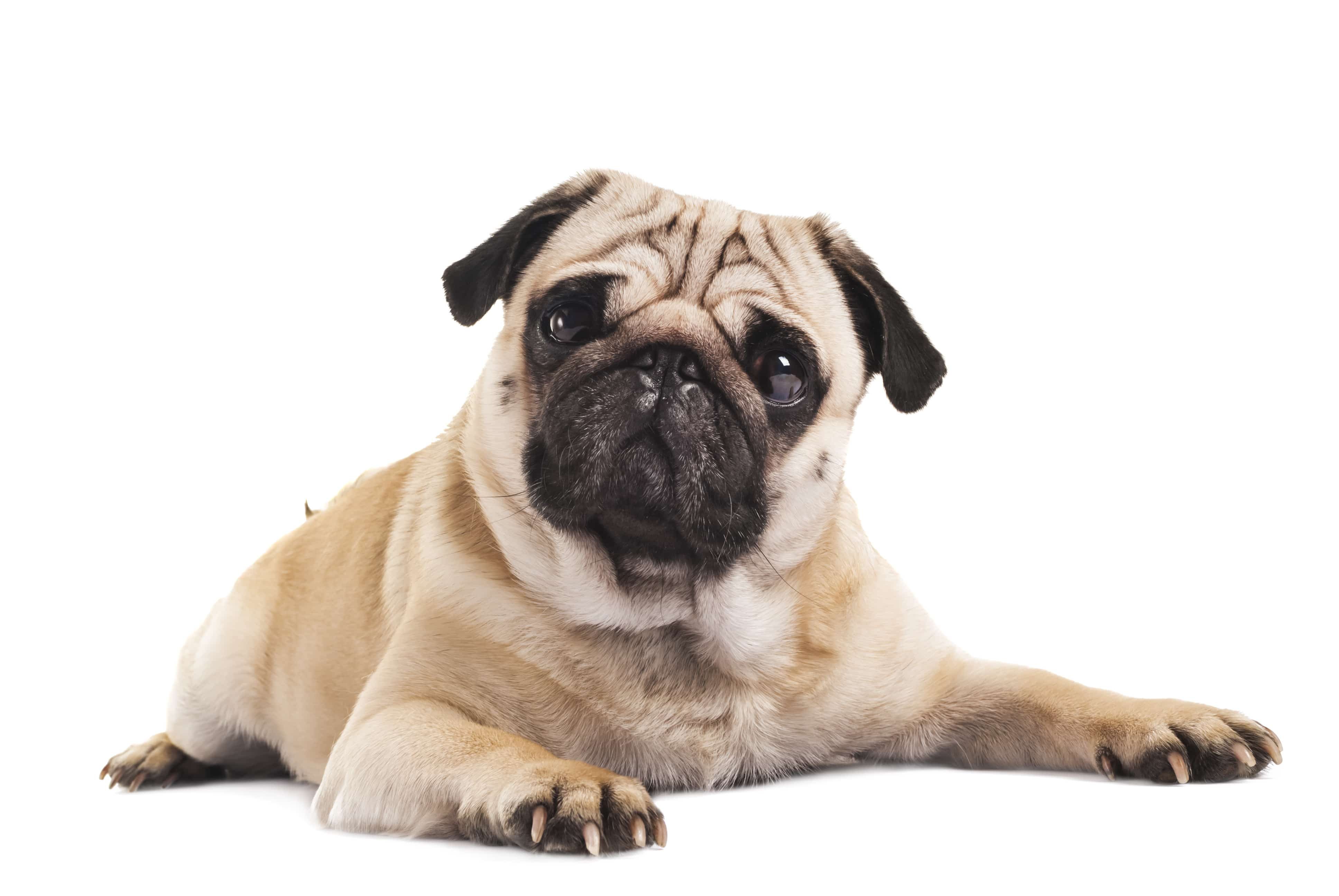 Pugs Cesar S Way