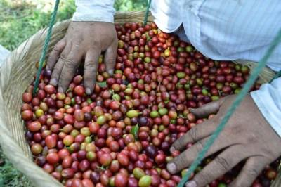 Coop. EL Jabali Comercio Justo El Salvador (174)