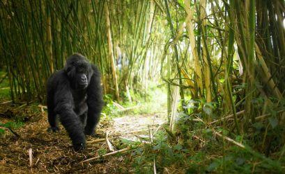 Hayvan Severler İçin Ulusal Volkan Parkı, Ruanda 2018 Yazında Gidebileceğiniz En Güzel 10 Yer Hayvan Severler in Ulusal Volkan Park Ruanda