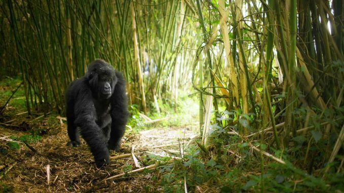 Hayvan Severler İçin Ulusal Volkan Parkı, Ruanda