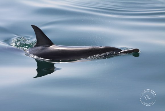 Why focus on common dolphins?