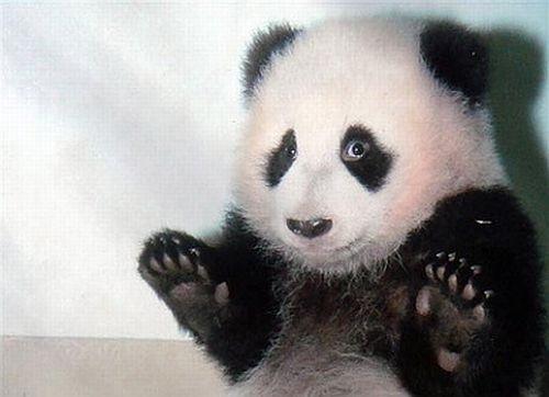 Deus criou os Pandas?