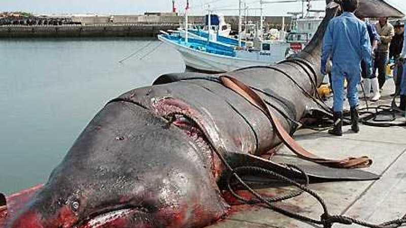 Tubarão gigante capturado no Japão
