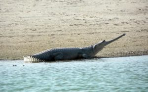 The long snouted Indian crocodile: Gharial conservation success 1