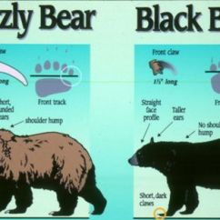 Black Bear Diagram Wiring For Lights Uk Grizzly Identification Recovery Program