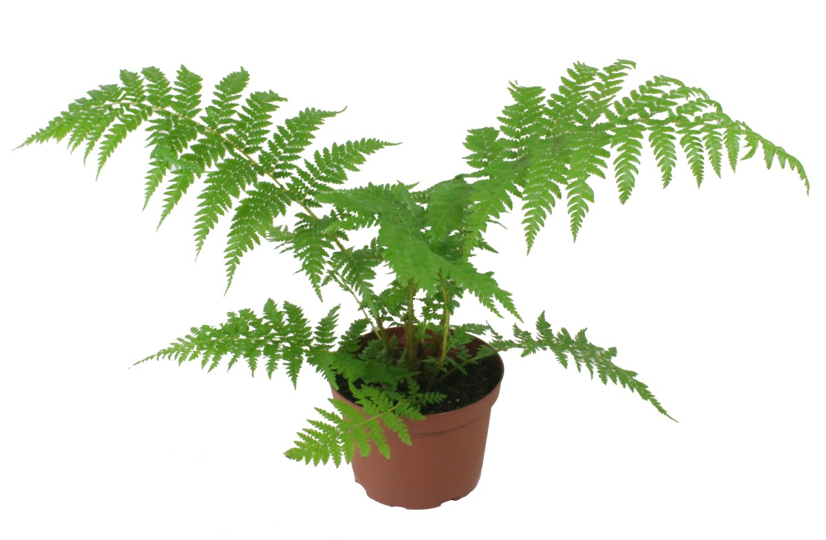 Image result for East Indian Holly Fern