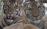 Twotigerstogether