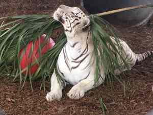 White Bengal Tiger Enrichment - Central Florida Animal Reserve