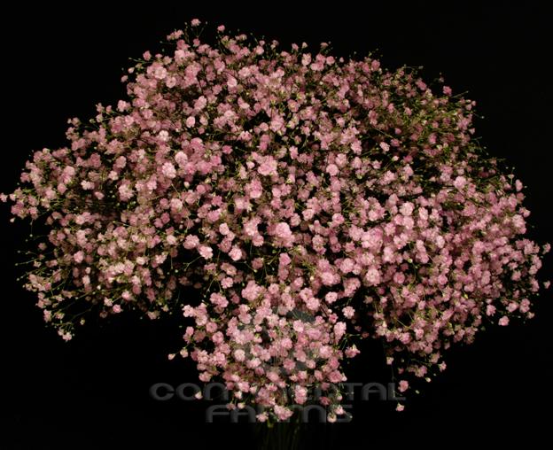 Gypsophila My Pink  Continental Farms