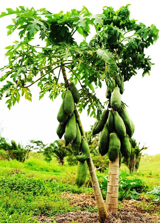 maya papaya