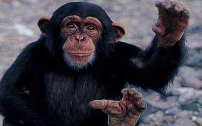 The Chimpanzee  Natures Wonderland  Jewish Kids