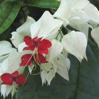 Plantas do Brasil - 2. Lágrima de Cristo