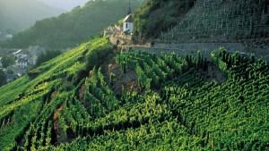 Vignoble du Rangen en Alsace