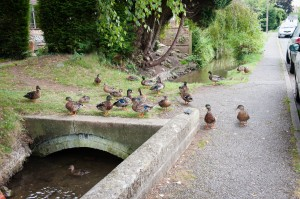 Chalgrove Brook and ducks