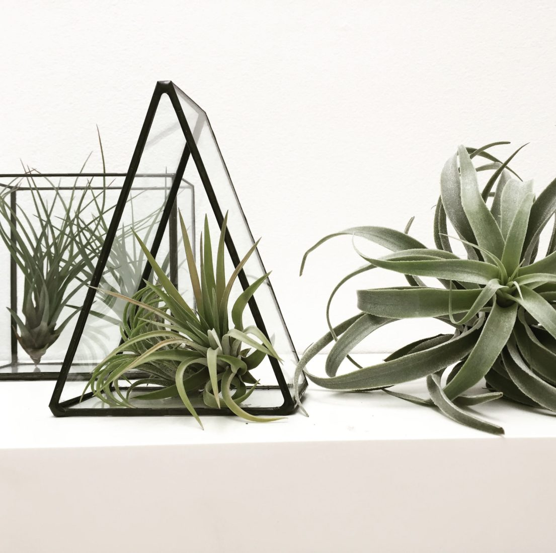 Tillandsia Cacticola airplant by Monti by Monti