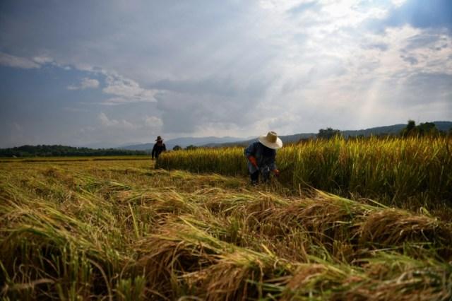 Récolte du riz dans le village thaïlandais de Mae Rim, le 7 novembre 2019 (AFP - Lillian SUWANRUMPHA)
