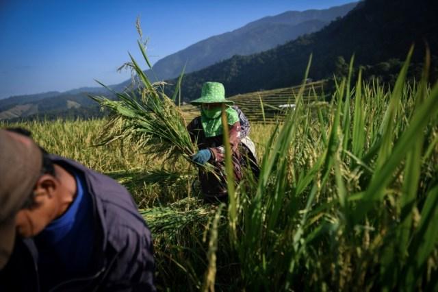 Récolte du riz à Mae Rim, dans le nord de la Thaïlande, le 7 novembre 2019 (AFP - Lillian SUWANRUMPHA)