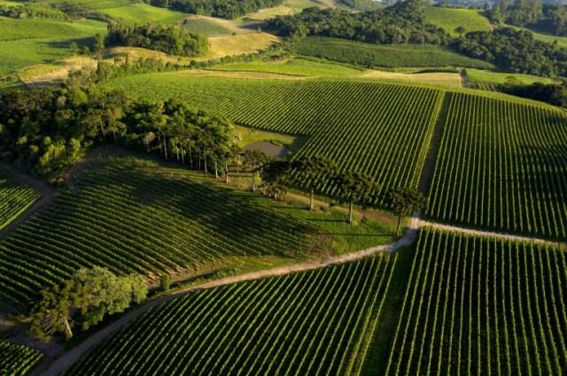 Le vignoble de la Familia Geisse à Pinto Bandeira, dans le sud du Brésil, le 3 décembre 2019 (AFP - FLORIAN PLAUCHEUR)