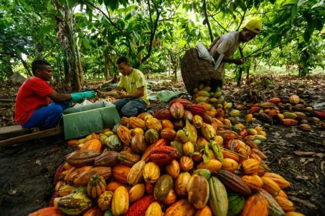Des ouvriers agricoles brésiliens collectent et évaluent des fruits de cacao dans la ferme d'Altamira à Itajuipe, dans l'Etat de Bahia, nord-est du Brésil, le 13 décembre 2019 (AFP/Archives - RAFAEL MARTINS)